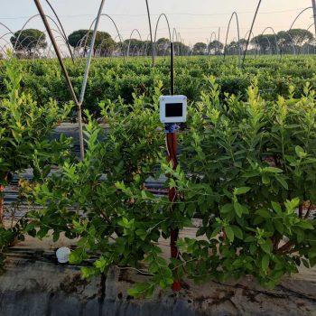 cultivo-fresas